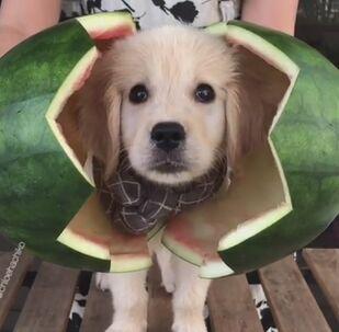 Quelqu'un veut un morceau de pastèque? Un chiot golden retrievers se cache à l'intérieur d'un fruit