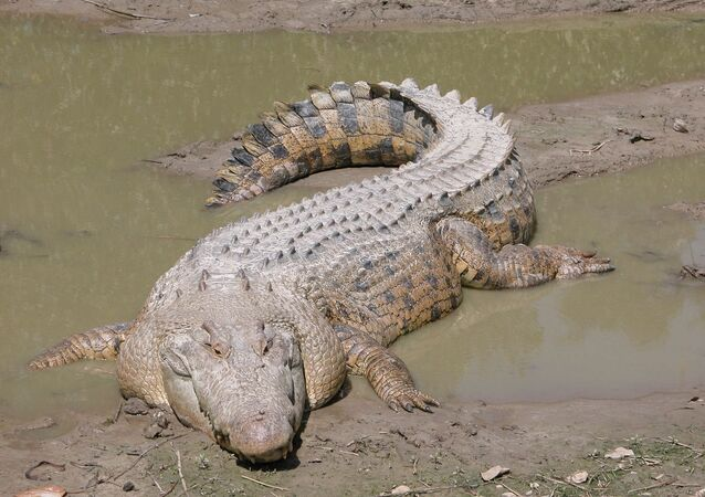 un crocodile marin (image d'illustration)