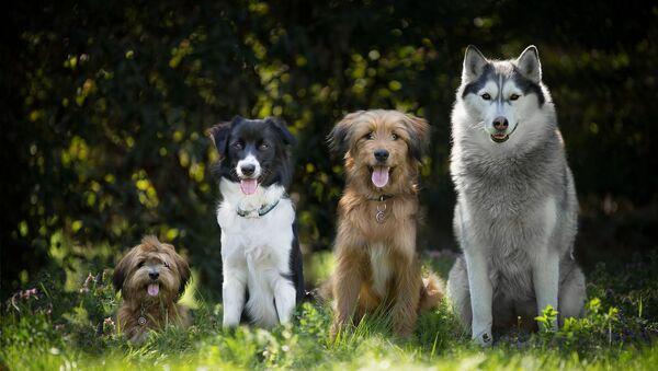Des chiens - Sputnik France