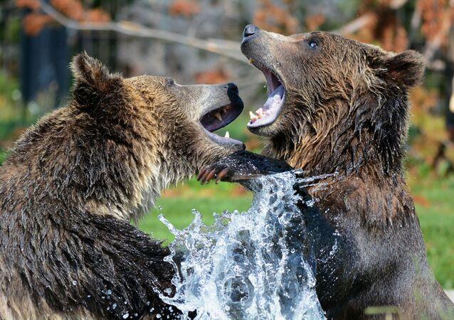 deux grizzlis