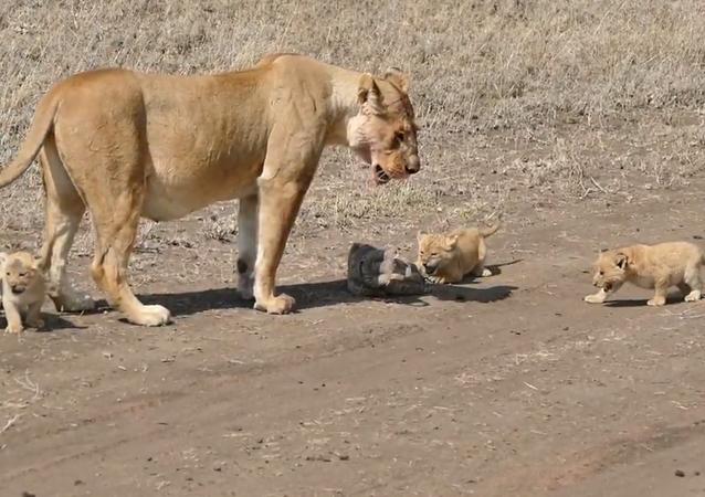 Que se passe-t-il lorsque des lionceaux tombent sur un étui de caméra?