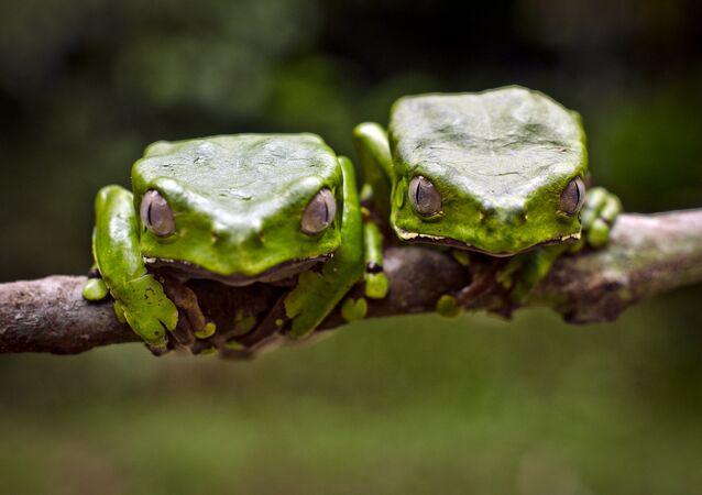 deux grenouilles Kambo