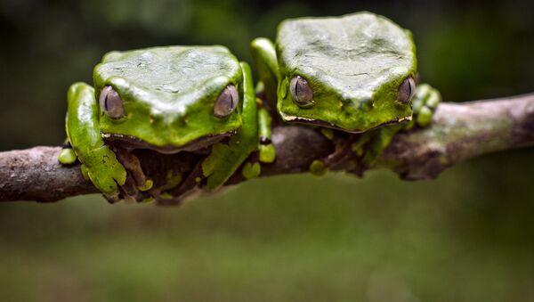 deux grenouilles Kambo - Sputnik France