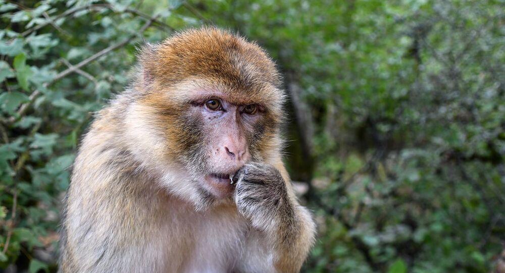 Un macaque de barbarie