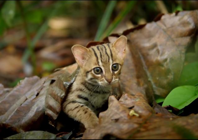 200 fois moins grand qu'un lion: dites bonjour au plus petit chat du monde
