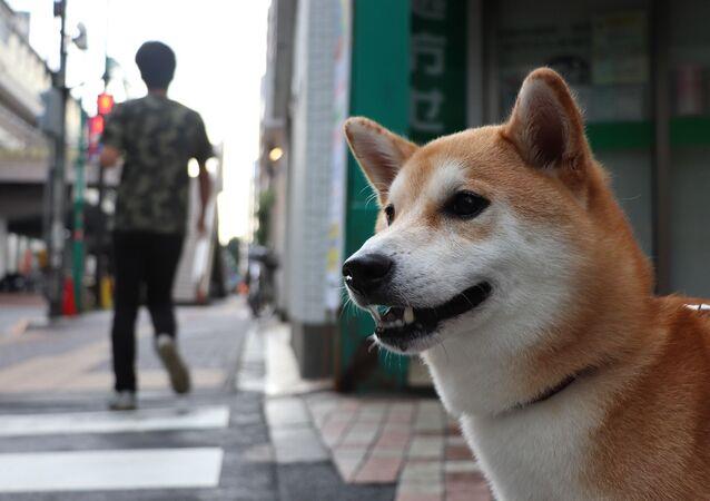 Un Shiba Inu