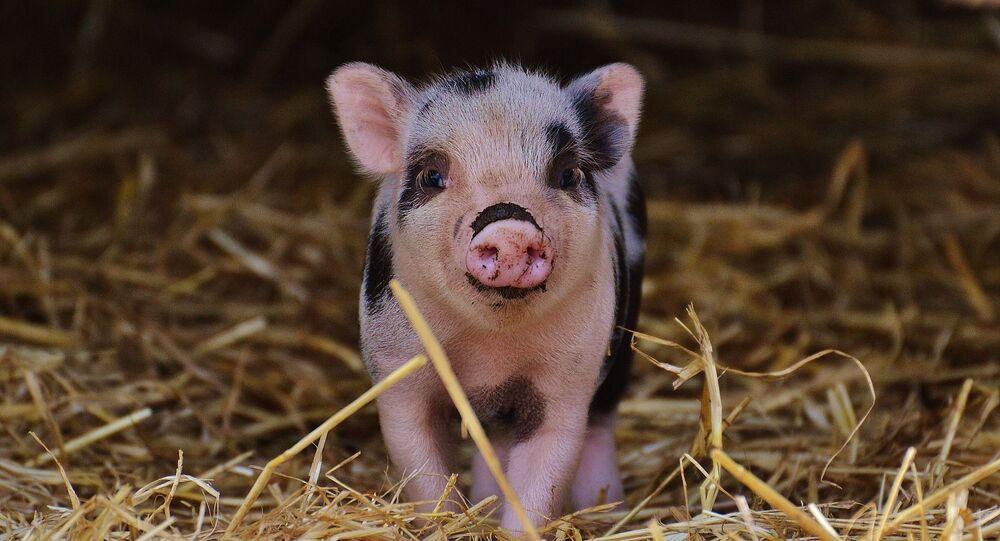 Micro-cochon (image d'illustration)