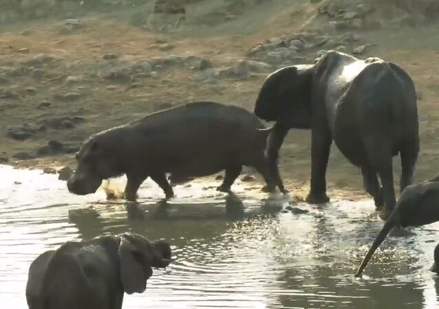 Voici ce qui se passe quand un hippo se faufile entre des éléphants