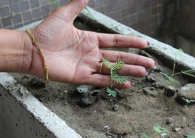 Une jeune pousse d'acacia