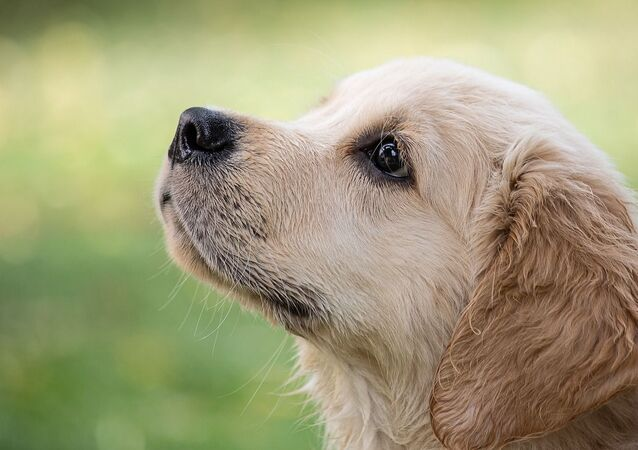 Golden retriever, image d'illustration