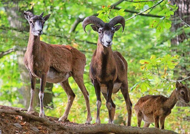 Des chèvres sauvages (image d'illustration)