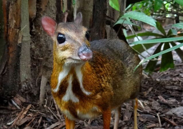 Un Chevrotain (image d'illustation)