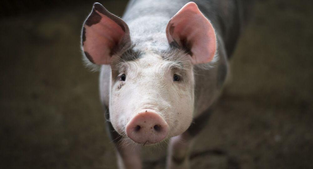 Porc, image d'illustration