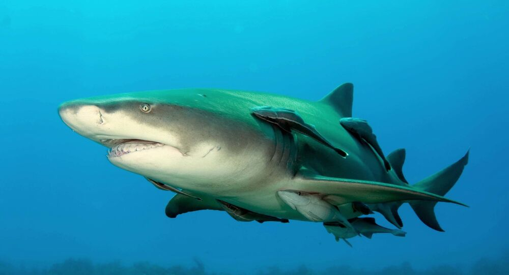 Un requin-citron (image d'illustration)