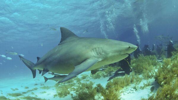 Un requin bouledogue  - Sputnik France