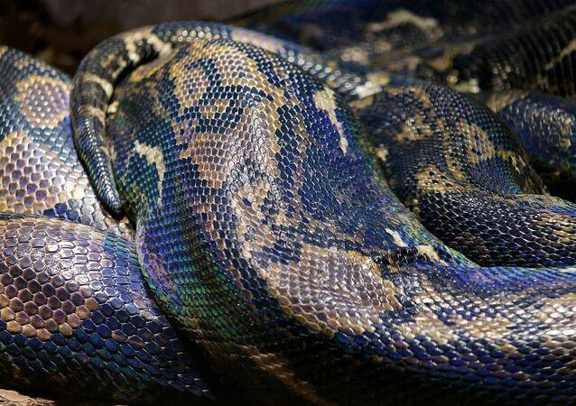 Un python, image d'illustration