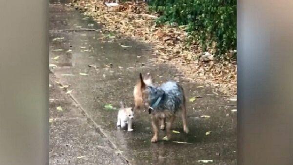 Quand un chien au grand cœur sauve un chaton de l'averse - Sputnik France