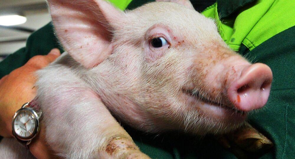 Un petit cochon, image d'illustration