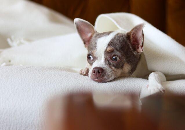 Chihuahua (image d'illustration)