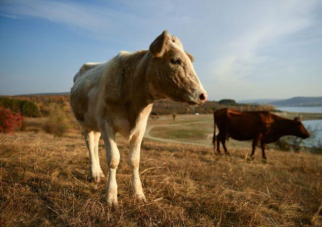 Des fourrières pour vaches en Russie