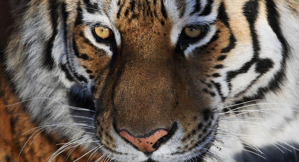Un tigre, image d'illustration