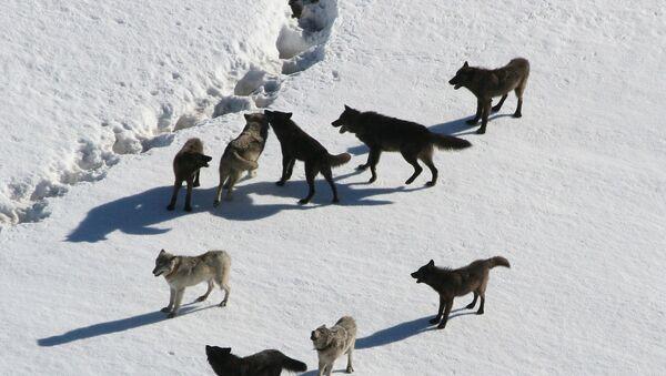 Meute de loups - Sputnik France