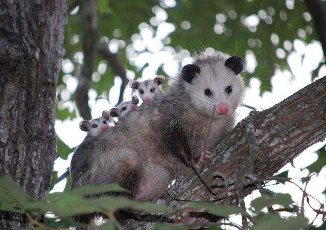 Un opossum