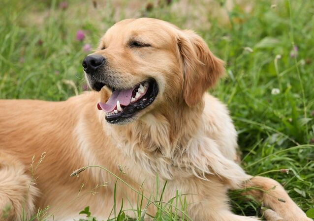 Un golden retriever (image d'illustration)