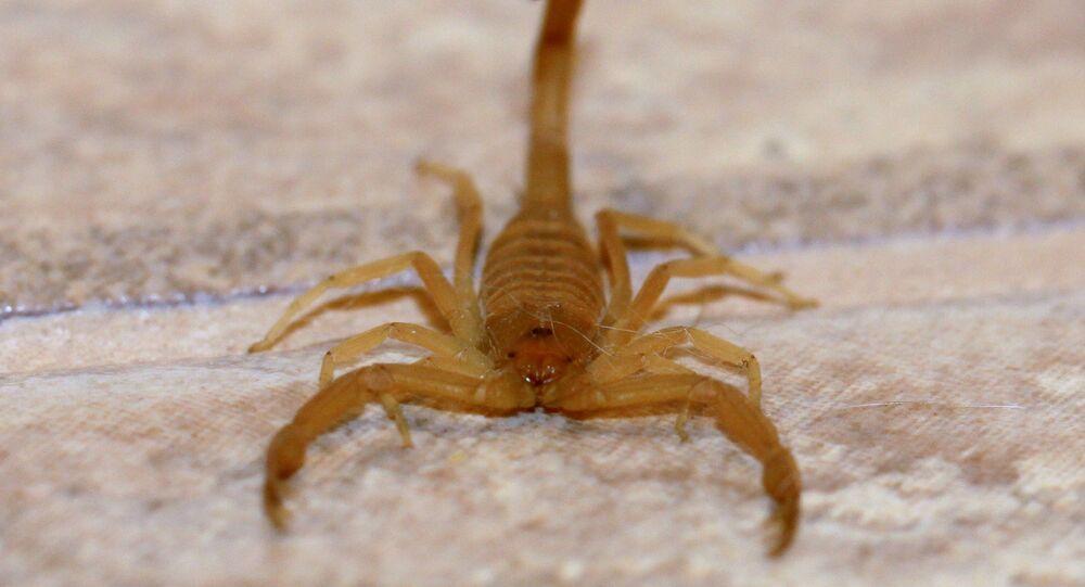 Un scorpion