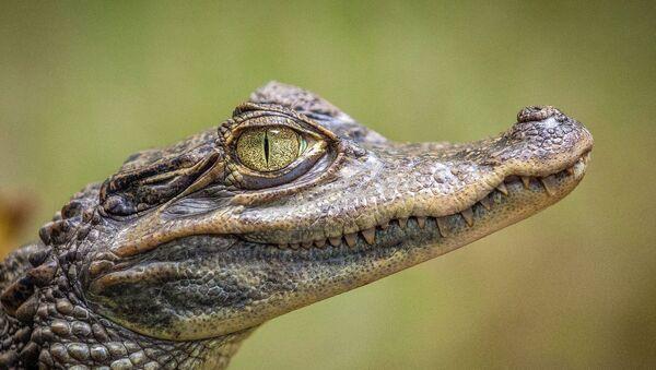 Jeune crocodile - Sputnik France