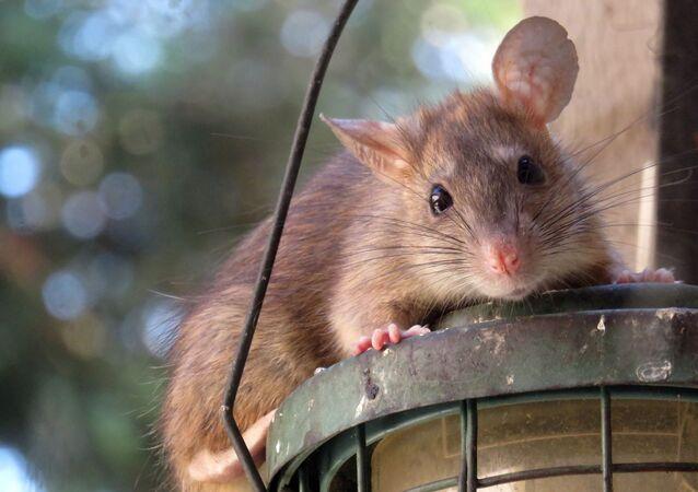 Un rat (image d'illustration)