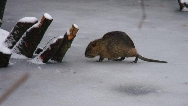 Un rat musqué (archive photo) - Sputnik France