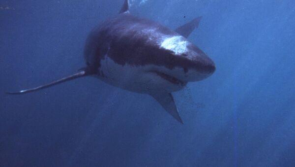 Grand requin blanc - Sputnik France