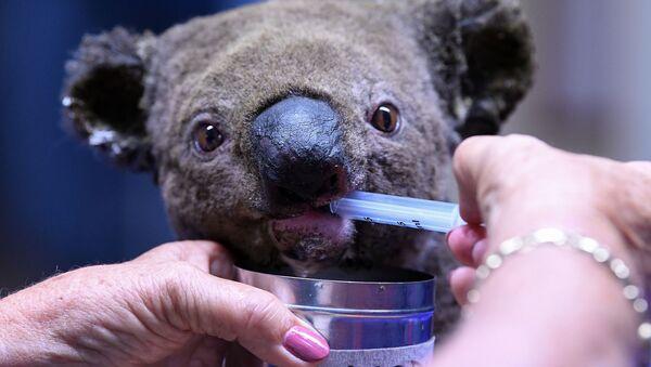 Un koala blessé et déshydraté reçoit des soins après avoir été sauvé d'un feu de brousse, novembre 2019 - Sputnik France