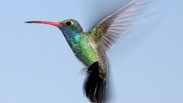 Un colibri - Sputnik France