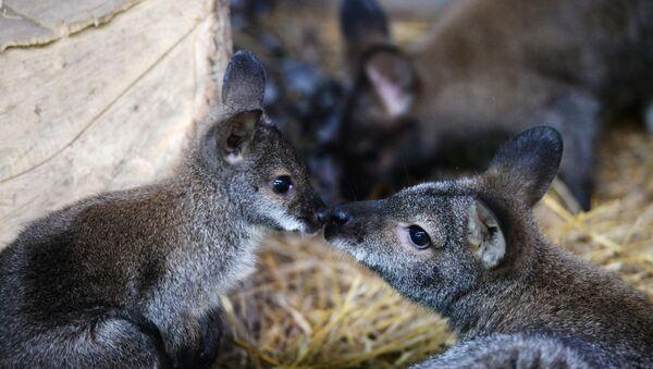 Kangourous au zoo d'Ekaterinbourg - Sputnik France