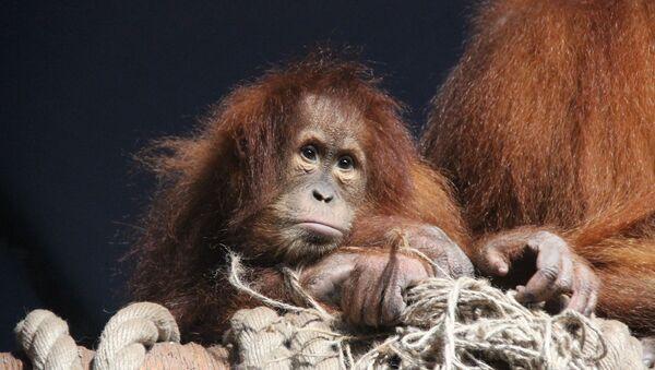 un orang-outan (image d'illustration) - Sputnik France