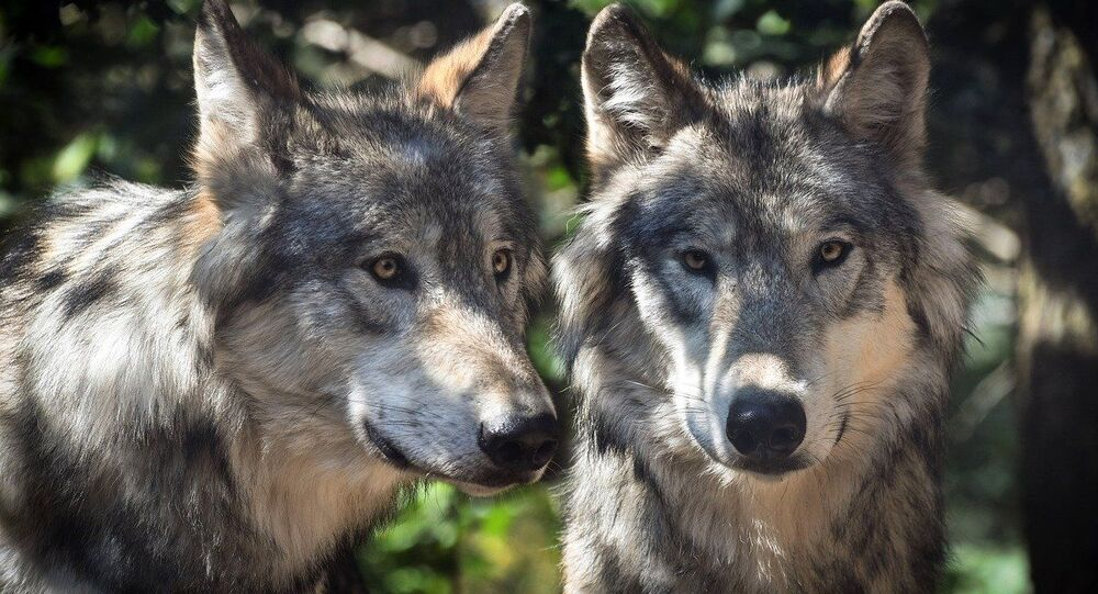 Loups (image d'illustration)