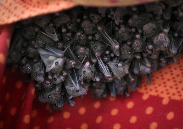 Des chauves-souris (image d'illustration)