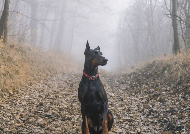 Un dobermann (image d'illustration)