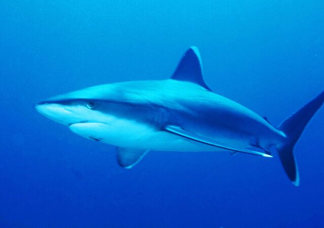 Requin pointe blanche