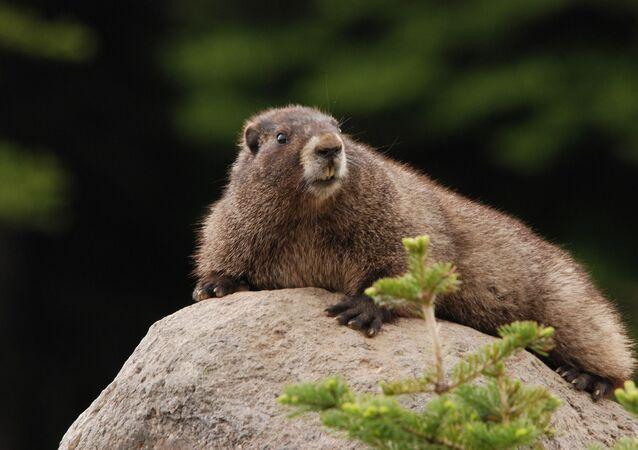 Une marmotte