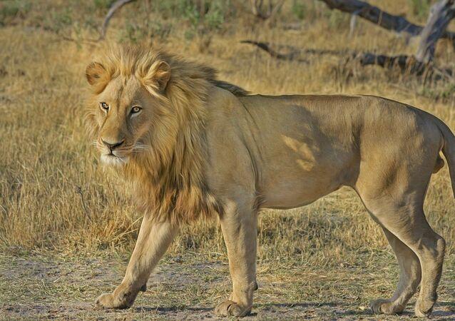 Un lion, image d'illustration