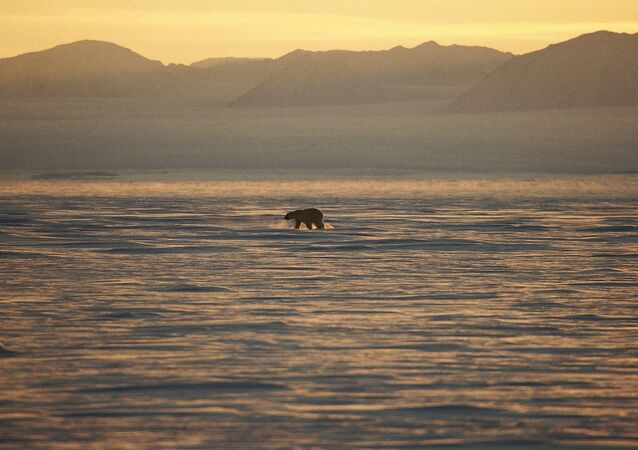 Un ours polaire sur la côte est du Groenland.