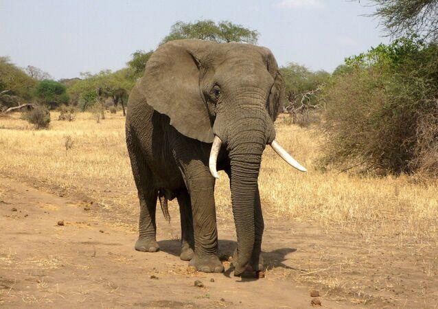 Un éléphant en Afrique (image d'illustration)