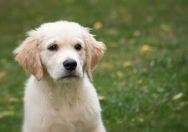 Un golden retriever