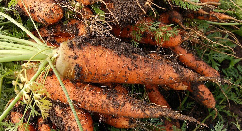 Culture de la carotte