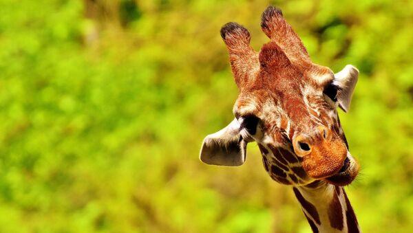 Un girafe - Sputnik France