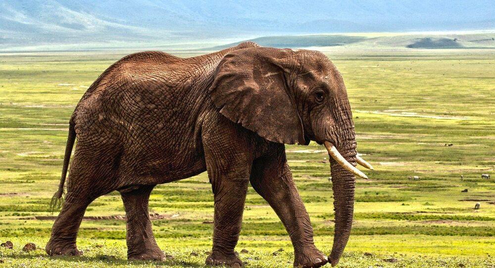 Eléphant (image d'illustration)