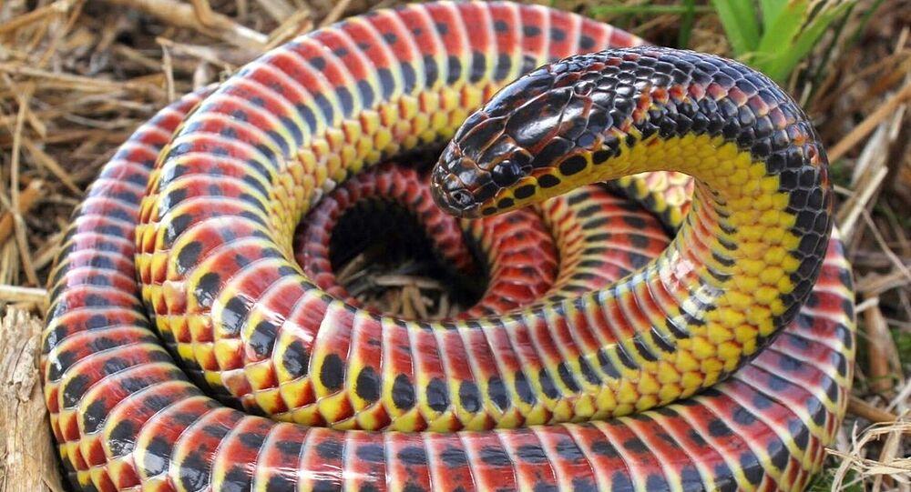 Serpent arc-en-ciel